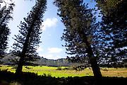 Cok pines, Kipu Ranch, Kauai, Hawaii