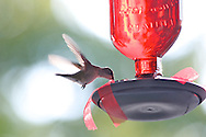 hummingbirds on the porch ruby throated female