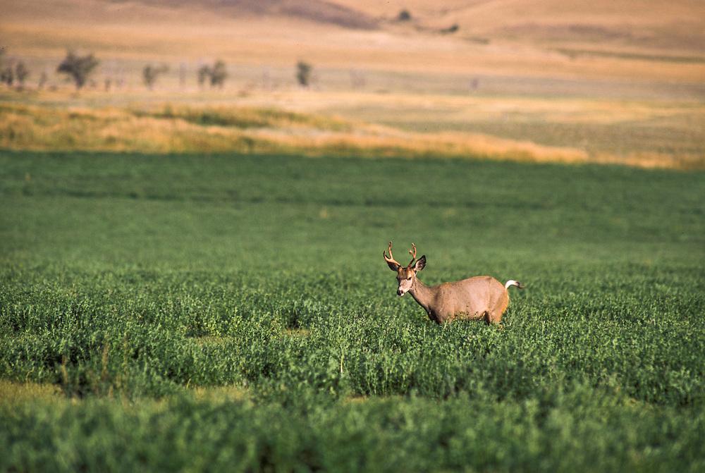 Montana, USA - Whitetail Deer
