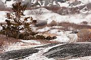 CANADA, Churchill (Hudson Bay).Arctic fox (Alopex lagopus) and tundra vegetation