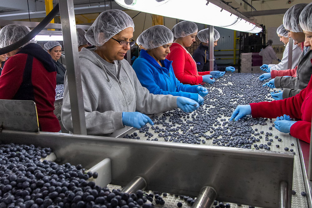 Abbotsford, Canada: Sikh women form the core of the blueberry-picking and production labor force in the Fraser Valley, east of Vancouver.