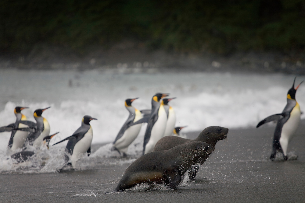 Antarctica, South Georgia Island (UK), King Penguins (Aptenodytes patagonicus) and Antarctic Fur Seals (Arctocephalus gazella) in crashing surf along Right Whale Bay on stormy evening
