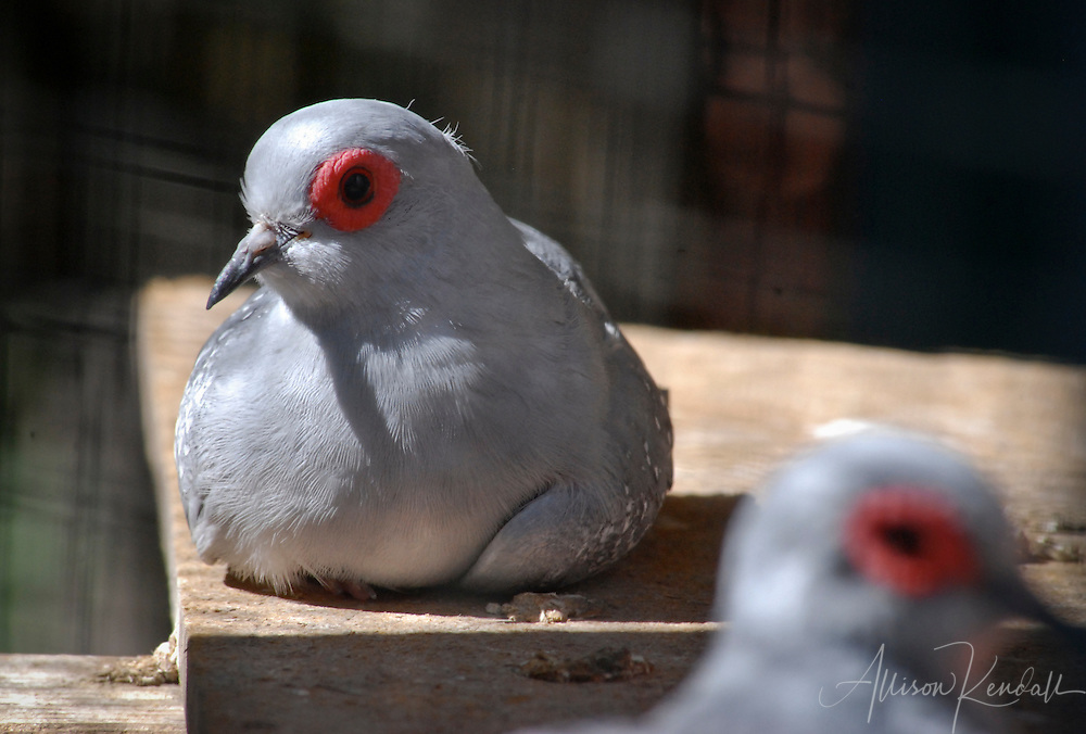 Diamond dove, resting in an aviary