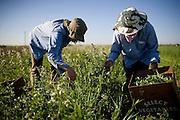 Carolyn Cismoski, left, and Sagrario Avalos pick arugula at Dell Rio Botanical in West Sacramento, CA May 3, 2010.