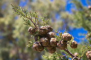 Pine cones forming on branch of conifer evergreen tree in Corfu, , Greece
