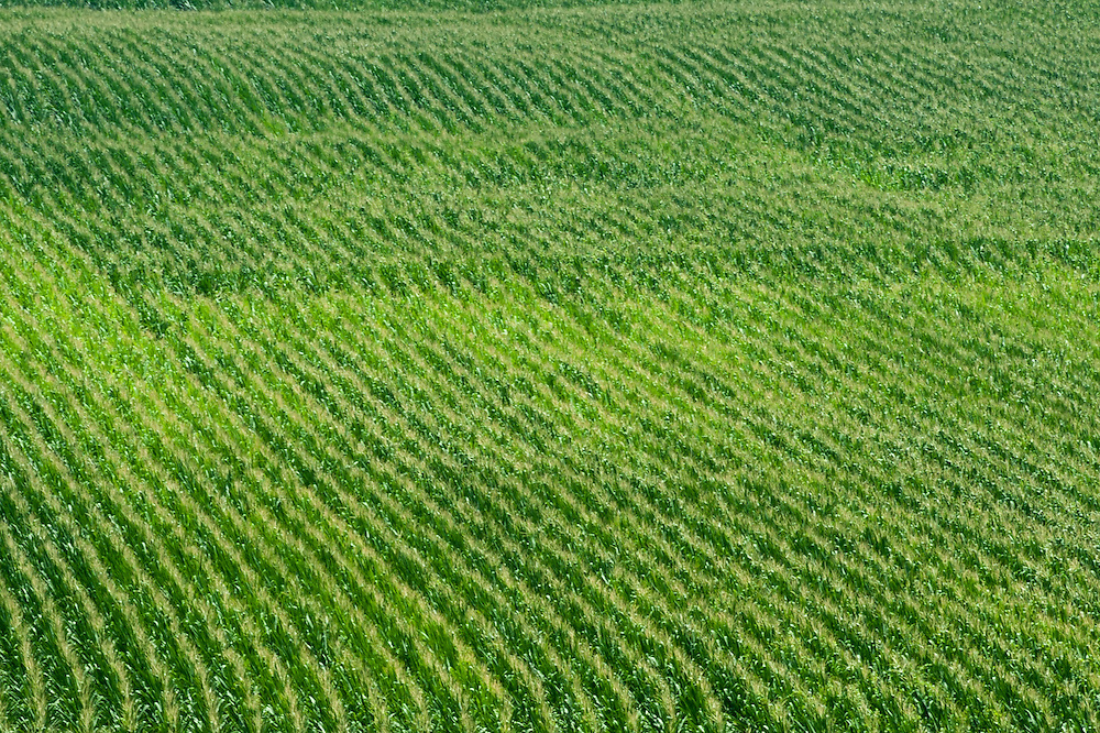 Aerial of fields of corn crop