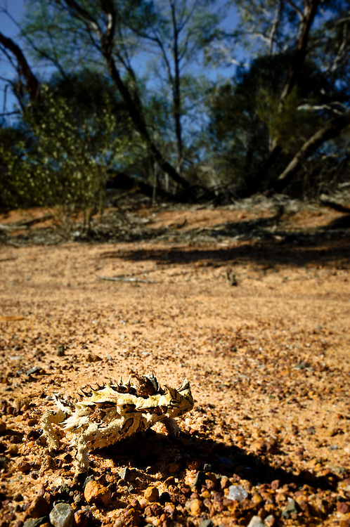 Stock photograph of a Thorny Devil (Moloch horridus) camouflaged against the stony ground of the Kalbarri bush, Australia