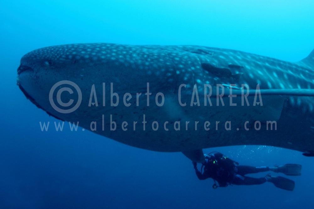 Alberto Carrera, Whale Shark, Rhincodon typus, Darwin Island, Galápagos Islands, Ecuador, America