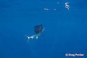 Atlantic sailfish, Istiophorus albicans ( considered by some to be a single species worldwide, Istiophorus platypterus ), investigates teaser bait, off Yucatan Peninsula near Contoy Island and Isla Mujeres, Mexico ( Caribbean Sea )