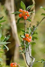 Flax leaved daphne, Daphne gnidium