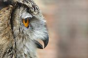 Nederland, Batenburg, 27-7-2014Een grote uil met zijn priemende oranje ogen.Foto: Flip Franssen/Hollandse Hoogte