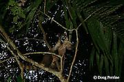 white-nosed coati or coatimundi, Nasua narica, male, Jaguar Paw Jungle Resort, Cayo District, Belize, Central America