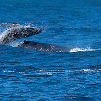 The humpback whale population was almost hunted to extinction.  In 1966 commercial humpback whale hunting was banned and since then the humpback whale population has bounced back.