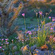 Desert wildflowers at San Tan Regional Park