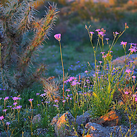 Desert wildflowers at San Tan Regional Park