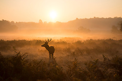 October 10, 2018 - London, London, United Kingdom - Weather pictures in Richmond Park, London, UK...Deer in Richmond park pictured in the sunrise during an unusually warm autumn day where temperatures are predicted to rise to 22C, before the weather turns wet over the weekend. (Credit Image: © Ben Stevens/i-Images via ZUMA Press)