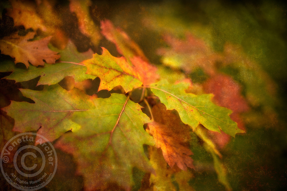 An abstract vision of oak leaves transforming for Autumn.