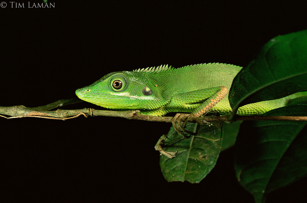 Agamid lizard (Bronchocela cristatella) resting on a slender branch at night.  Bohol Island, Philippines.