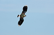 Lapwing Vanellus vanellus L 30cm. Pied-looking wader with a spiky crest. Has rounded, black and white wings and distinctive call. Sexes are separable in summer. Adult male in summer has green- and purple-sheened dark upperparts; underparts are white except for orange vent and black foreneck. Note black and white markings on throat. Adult female in summer has less distinct black neck markings and shorter crest. Winter adult is similar to summer female but throat and foreneck are white, and back feathers have buffish fringes. Juvenile is similar to winter adult but crest is short and back looks scaly. Voice Utters a choked pee-wit call. Status Fairly common nesting species of undisturbed grazed grassland, moors and arable farmland; numbers have declined seriously. Migrants from Europe boost numbers in winter.