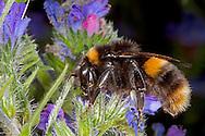 Buff-tailed Bumblebee - Bombus terrestris - queen.