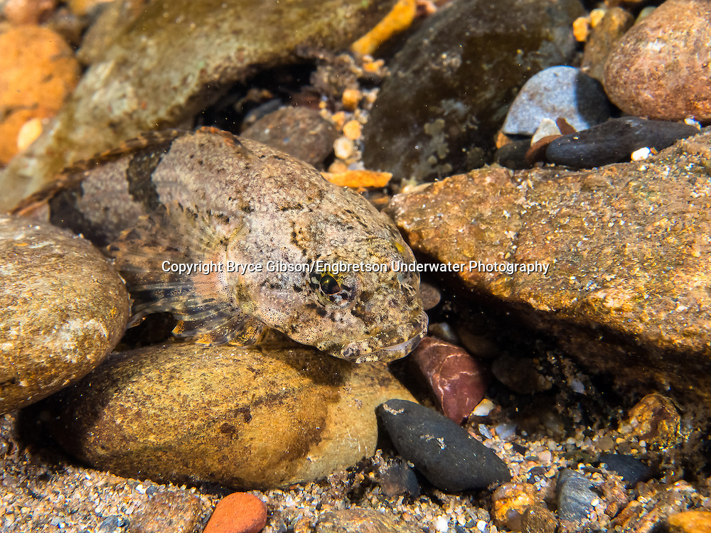 Banded Sculpin<br /> <br /> Bryce Gibson/Engbretson Underwater Photography