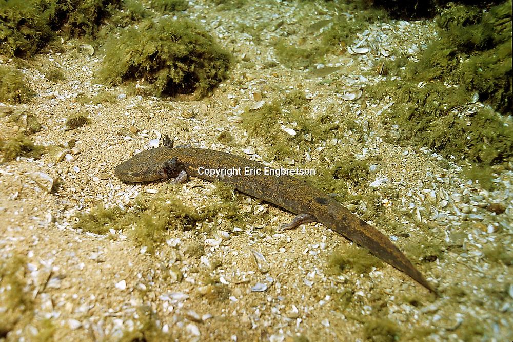 Mudpuppy Salamander<br /> <br /> Engbretson Underwater Photo