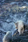 USA, Montana, Rocky Mountain goats, Glacier National Park