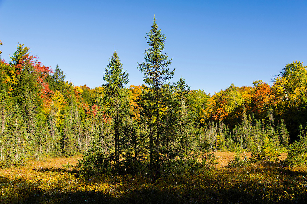 A bog with fall color in the Hiawatha National Forest of Michigan's Upper Peninsula.