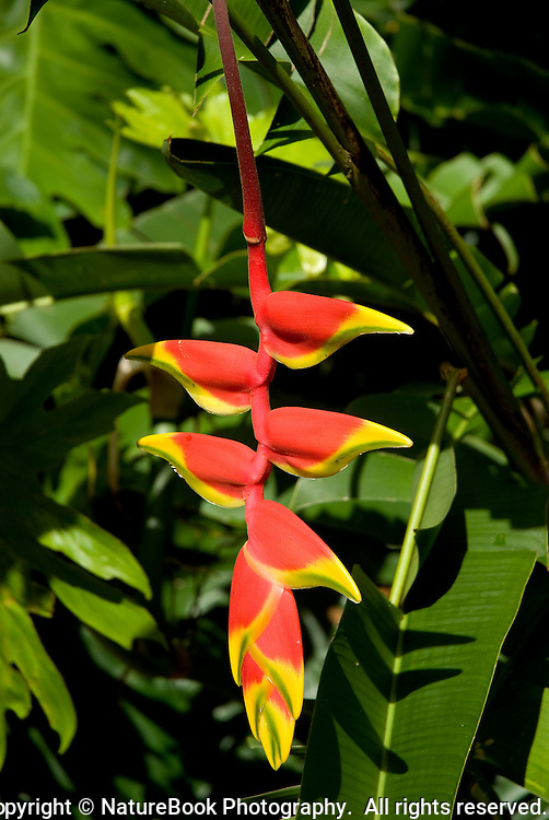 The red and yellow Heliconia/Lobster Claw is one of the most striking plants in Hawaii.  Against a background of green, it's among the most beautiful expressions of color you'll find anywhere.