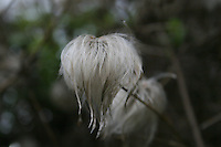 Old Man's Beard Clematis plant