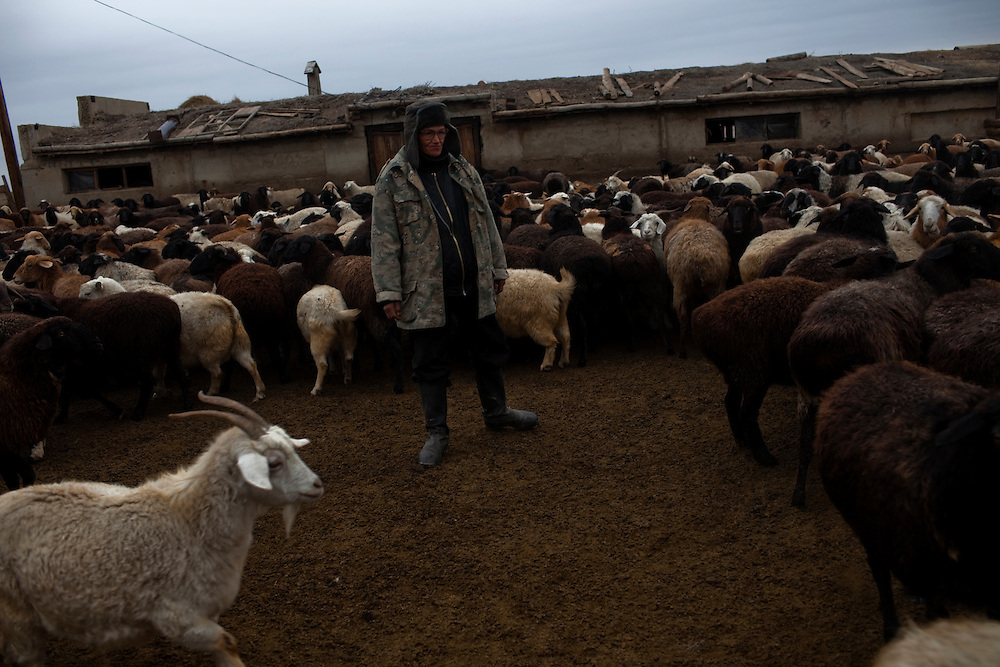 CREDIT: DOMINIC BRACCO II..SLUG:PRJ/KAZAKHSTAN SHEEP HERDERS..DATE:10/22/2009..CAPTION:Shepherd Alen Popov works with his sheep in their stable near Semey, Kazakhstan. The herders live near a radio active lake which was made during the 1970s as part of an experiment by the USSR to create lakes from atomic bombs. The lake is in an area known as The Polygon, a test site for more than 400 of the Soviet Union's nuclear weapons.