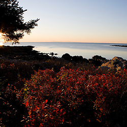 Blueberry bushes in fall on the rocky coast of Timber Point in Biddeford, Maine.