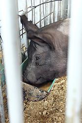 05 August 2016:   McLean County Fair<br /> <br /> Pig