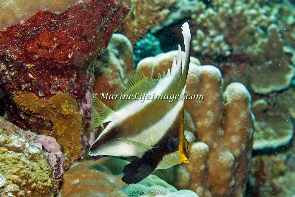 Pennant Bannerfish inhabit reefs. Pictue taken Palau.