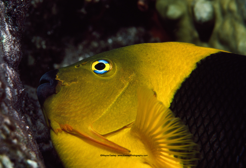 Rock Beauty (Holacanthus tricolor) feeds on the egg mass of a Sergeant Major (Abudefduf saxatilis). Saba
