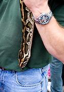 Snake wrangler holding boa constrictor snake at outdoor demonstration. Grand Old Day Street Fair St Paul Minnesota USA