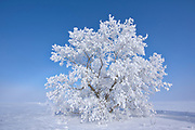 Hoarfrost covered Manitoba maple tree<br />