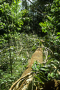 Treefall gap or natural clearing caused by fall of tree in Tropical Rain Forest in Amazonas State, Brazil.