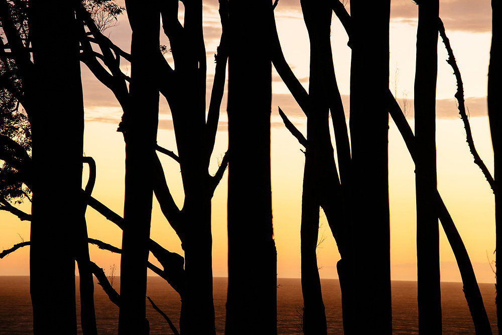 A stand of spotted gums (Corymbia maculata) silhouetted against the water of Depot Beach in Murramarang National Park.