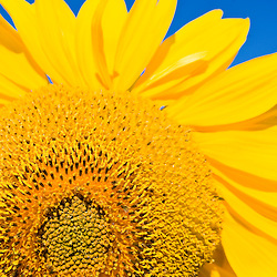 Sunflower and blue sky.  Portsmouth, New Hampshire.