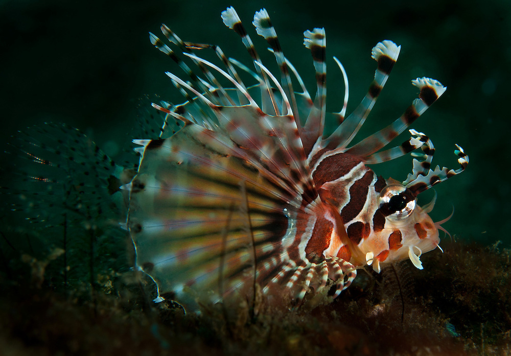 A common lionfish. In the Philippines, muck divers head straight to Dauin to begin the hunt. It is considered one of the premier muck diving locations on the planet. On a bad day at Dauin, you can spot more rare animals than a decade out on the reef...