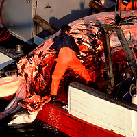 North Sea 1994 Norwegian whalers process Minke whale on board vessel.