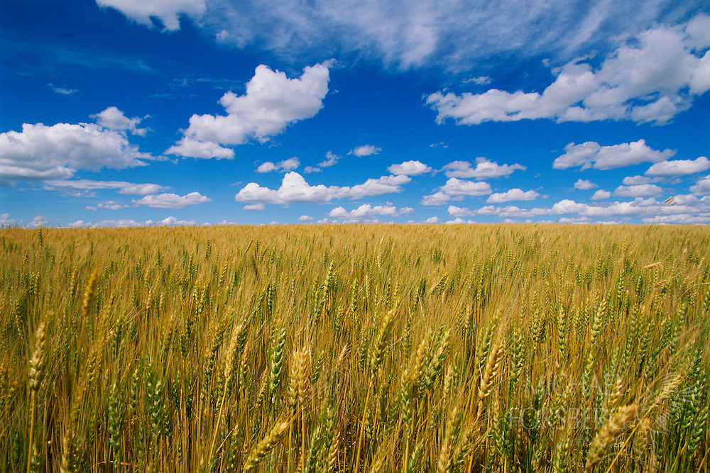 A golden wheat field under a blue sky.  Garden County, Nebraska.