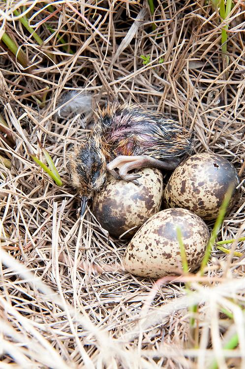 Red-necked Phalarope, Phalaropus lobatus, nest, chick and pipped egg, Yukon Delta NWR, Alaska