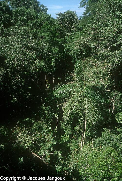 Palm in Amazon rainforest in Peru.