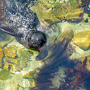 A newborn seal pup practices swimming skills in a sheltered cove.