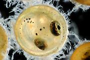 European whitefish (Coregonus lavaretus) (captive & Digital focus stacking) | Große Maräne oder Lavaret (Coregonus lavaretus) Eier kurz vor dem Schlupf
