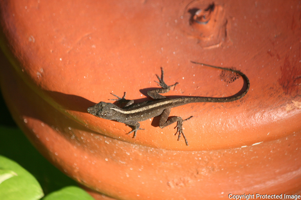 Brown anole, common lizard in the tropics.