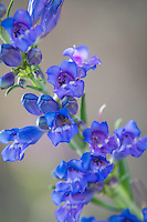 Until recently, the showy penstemon (including all other penstemons) was categorized as a member of the figwort family (Scrophulariaceae), which they clearly and closely look similar to. Recently, they have been reclassified as part of the plantain family (Plantaginaceae). As is often the case in botany, new research and genetic testing makes it easier for botanists to more accurately understand these plants which often means reclassification.