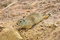 Richardson's Ground Squirrel (Spermophilus richardsonii), Irish Canyon, Colorado, USA   Photo: Peter Llewellyn